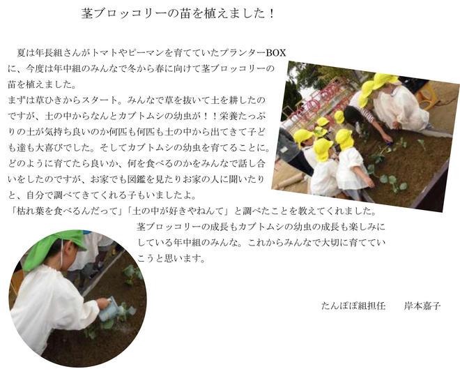 茎ブロッコリーの苗を植えました